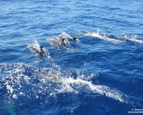 delfini barca a vela
