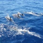 traversata atlantica delfini
