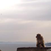 in arrivo a gibilterra scimmie